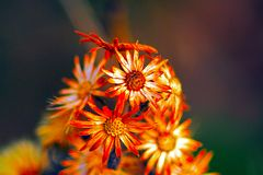 Blomma för första golv av den medelhavs- fläcken i halvösalentinaen med långa exponeringar till den direkta solen royaltyfri fotografi