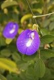 Blomma för fjärilsärta Arkivbild