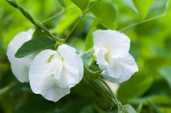 Blomma för fjärilsärta Royaltyfria Foton