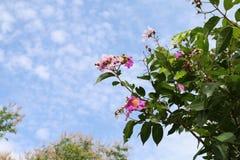 Blomma för floribunda för Lagerstroemia för ord för Tabak blommor thai, Lythraceaebrossom på träd, purpurfärgat orkidéträd och bl royaltyfria foton