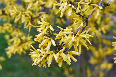 Blomma för forsythia Arkivbild