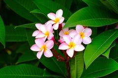 Blomma för frangipani för för Plumeriablommarosa färger och vit tropisk, grupp Royaltyfri Foto