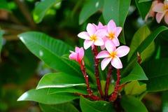 Blomma för frangipani för för Plumeriablommarosa färger och vit tropisk, grupp Arkivfoton