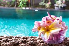Blomma för frangipani för för Plumeriablommarosa färger och vit tropisk, plumeriablommabloominge, brunnsortblomma, Bali ö Royaltyfri Foto