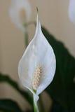 Blomma för fredlilja Arkivbilder