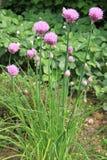 blomma för gräslökar Royaltyfria Bilder