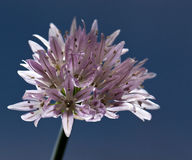 blomma för gräslökar Arkivbilder