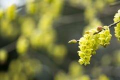 Blomma för grov spikvinterhasselträ Arkivbilder