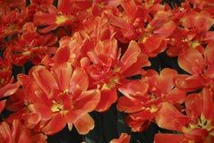 Blomma för grupp för tulpanIcoon dubblett sent royaltyfria foton