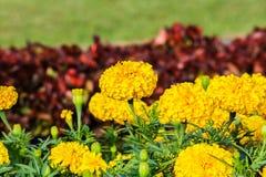 Blomma för gul guld, ringblomma Royaltyfria Foton