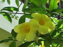 Blomma för gul klocka royaltyfria bilder
