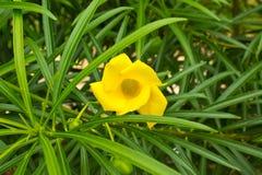 Blomma för gul oleander Arkivbild
