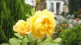 Blomma för gula rosor stock video