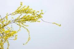 Blomma för guld- klocka Royaltyfri Foto