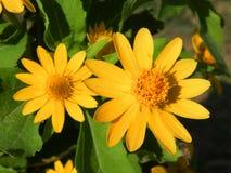 blomma för guling för  för ¹ för à för ํ Arkivfoto