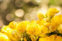 Blomma för gulingrosbegonia Royaltyfria Bilder