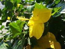 Blomma för gumamela för guling för sidosikt arkivfoto