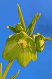 Blomma för Hellebore Arkivbilder