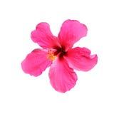 Blomma för hibiskusrosa sinensis som isoleras på vit Arkivbilder