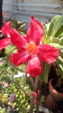 Blomma för impalalilja Arkivbild