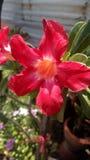 Blomma för impalalilja Royaltyfria Foton