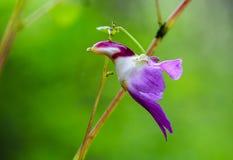 Blomma för Impatiens psittacinapapegoja på Doi Luang Chiang Dao, Chiang Mai, Thailand Royaltyfria Bilder