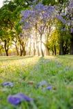 Blomma för jakarandamimosifoliaträd på soluppgång Arkivfoton