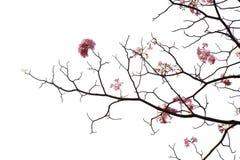 Blomma för japanska rosa färger på vit bakgrund Royaltyfri Bild