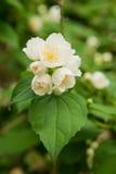 Blomma för jasmin Royaltyfri Bild