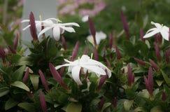 Blomma för jasmin Royaltyfria Foton