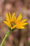 Blomma för Jerusalem kronärtskocka Arkivfoto