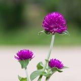 Blomma för jordklotamaranth Arkivfoton