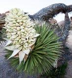 Blomma för Joshua träd på lutande träd på Joshua Tree National Park Royaltyfri Bild