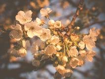 Blomma för körsbär Royaltyfri Foto