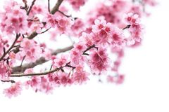 Blomma för körsbärsröd blomning, sakura blomma, i att blomma Arkivbild