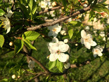 Blomma för körsbärsrött träd i vår Arkivfoto