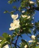 Blomma för körsbärsrött träd i vår Fotografering för Bildbyråer