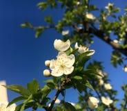 Blomma för körsbärsrött träd i vår Arkivbild
