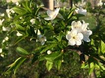 Blomma för körsbärsrött träd i vår Royaltyfri Bild