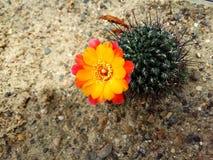 Blomma för kaktus Arkivfoton