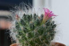 Blomma för kaktus som är härligt och som är angenämt royaltyfri fotografi