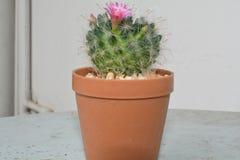 Blomma för kaktus som är härligt och som är angenämt royaltyfri bild