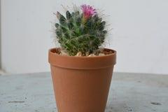 Blomma för kaktus som är härligt och som är angenämt Fotografering för Bildbyråer
