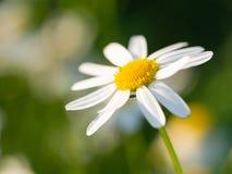 Blomma för kamomillMatricariachamomilla som blommar på ängen royaltyfri bild