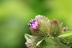 Blomma för Kanada tistel Fotografering för Bildbyråer