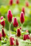 Blomma för karmosinröd växt av släktet Trifolium royaltyfria foton