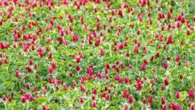 Blomma för karmosinröd växt av släktet Trifolium Arkivbild