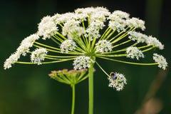Blomma för kopersilja med en humla Royaltyfri Bild