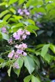 Blomma för kräppmyrten Arkivfoto