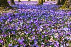 Blomma för krokusar Arkivfoton